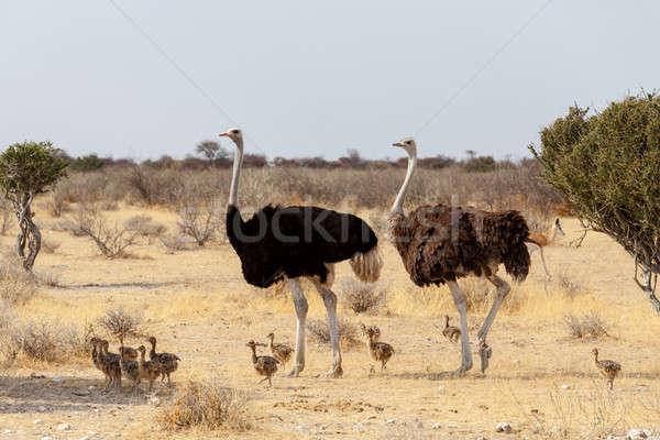 Family of Ostrich with chickens, Struthio camelus, in Namibia Stock photo © artush