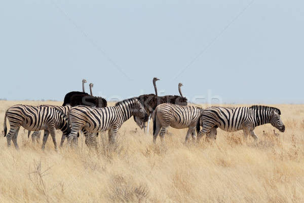 Zebra and ostrich in african bush Stock photo © artush