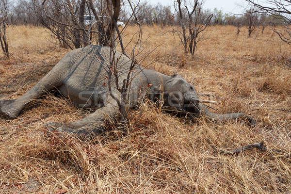 Kicsi halott elefánt park Botswana kör Stock fotó © artush