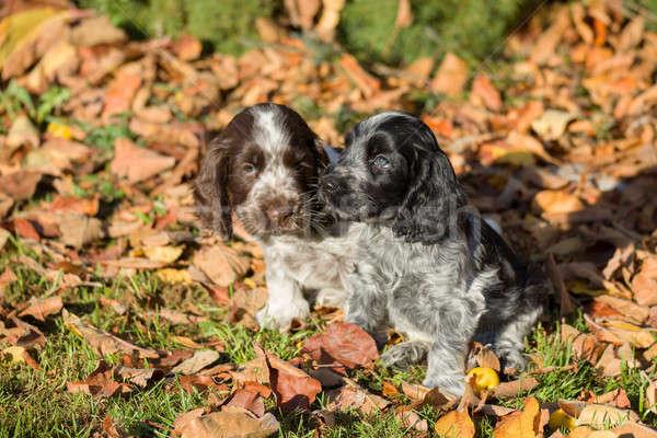 English Cocker Spaniel puppies Stock photo © artush