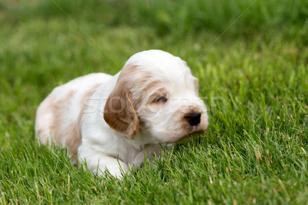 small purebred English Cocker Spaniel puppy Stock photo © artush