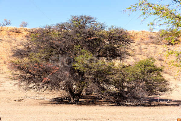 Stock photo: dry kgalagadi transfontier park
