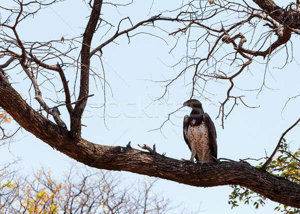 african Martial Eagle, Okavango delta, Botswana, Africa Stock photo © artush