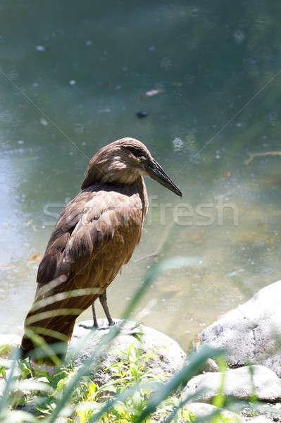 bird Hamerkop (Scopus umbretta) Stock photo © artush