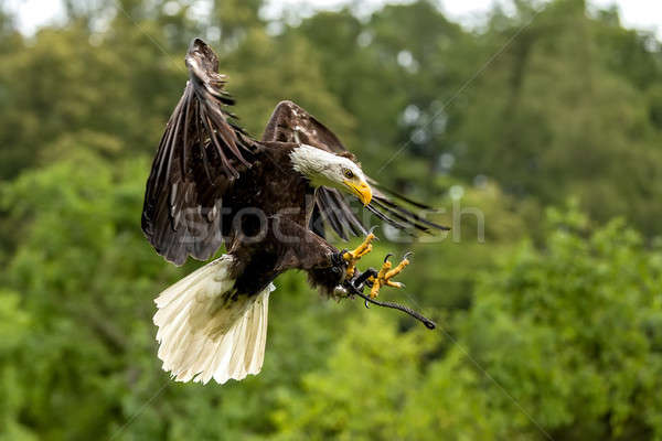 Stock photo: Big bald Eagle (Haliaeetus albicill)