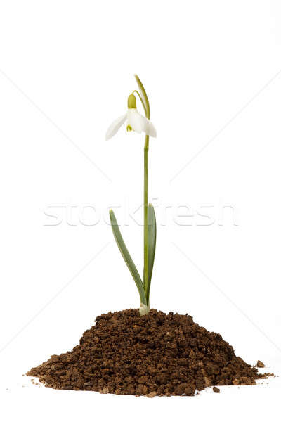 snowdrop first messenger of spring in the soil Stock photo © artush
