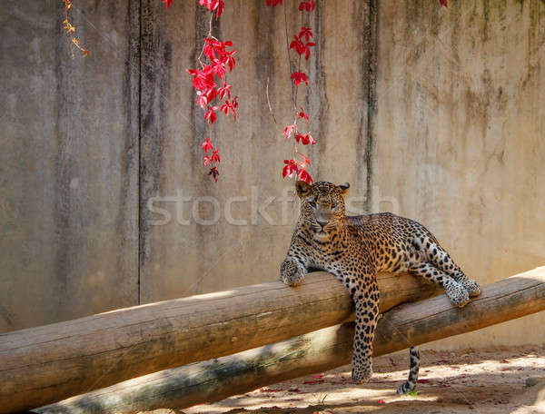 Leopard (Panthera pardus) lying on the tree Stock photo © artush