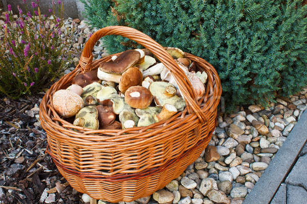 Full basket of fresh autumn mushroom, founded in forest Stock photo © artush