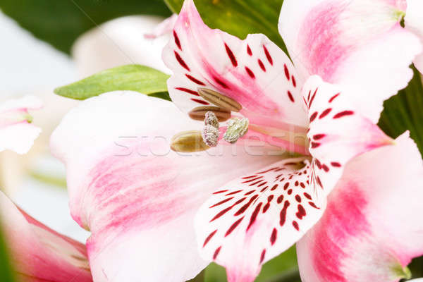 detail of bouquet of pink lily flower on white Stock photo © artush