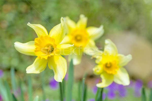 spring daffodils in garden, in light pastel colors Stock photo © artush