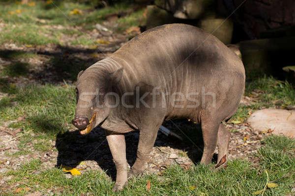 North Sulawesi babirusa Stock photo © artush
