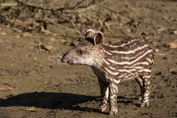 Stock fotó: Baba · veszélyeztetett · dél-amerikai · kicsi · fű · zöld