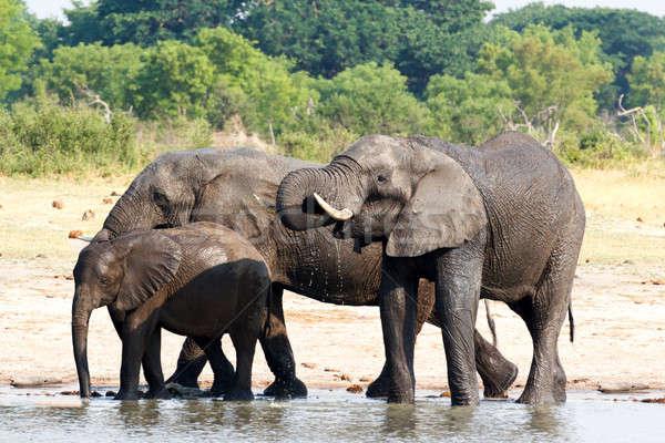 Stok fotoğraf: Filler · içme · Afrika · çamurlu · park