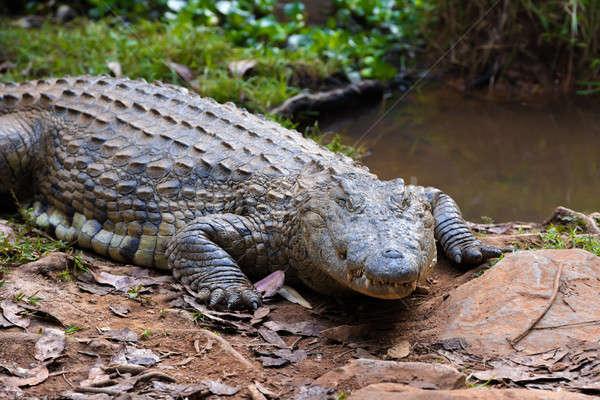Madagaskar krokodil büyük rezerv yaban hayatı Stok fotoğraf © artush