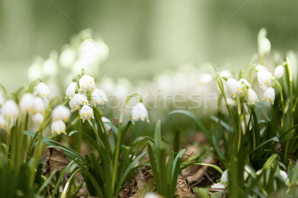 early spring snowflake flowers in forest Stock photo © artush