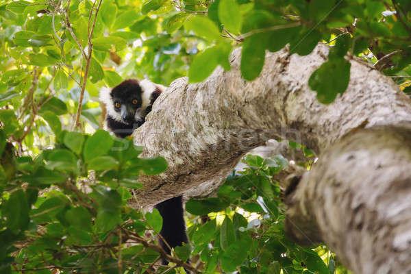 Black-and-white ruffed lemur (Varecia variegata), Madagascar Stock photo © artush