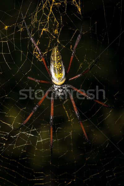 Golden silk orb-weaver on net Madagascar wildlife Stock photo © artush