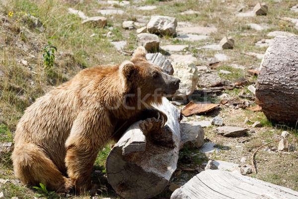 Orso bruno rosso orso confusi natura ritratto Foto d'archivio © artush