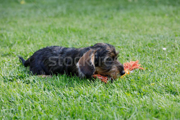 Cute vrouwelijke bruin teckel zomer tuin Stockfoto © artush