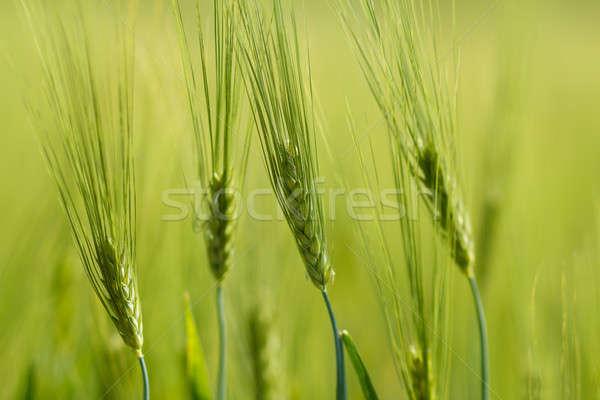 Organic Green spring grains with shallow focus Stock photo © artush