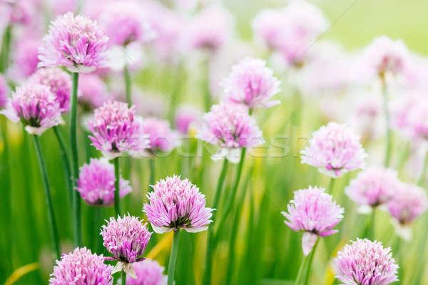 ハーブ 花 美しい ぼけ味 浅い フォーカス ストックフォト © artush