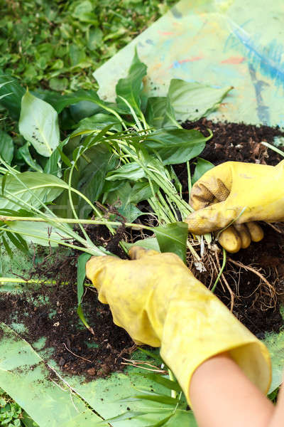 gardening with rubber yellow gloves Stock photo © artush