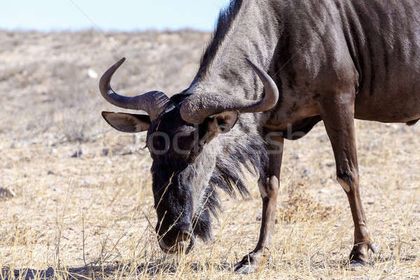 A wild Wildebeest Gnu grazing grassland Stock photo © artush