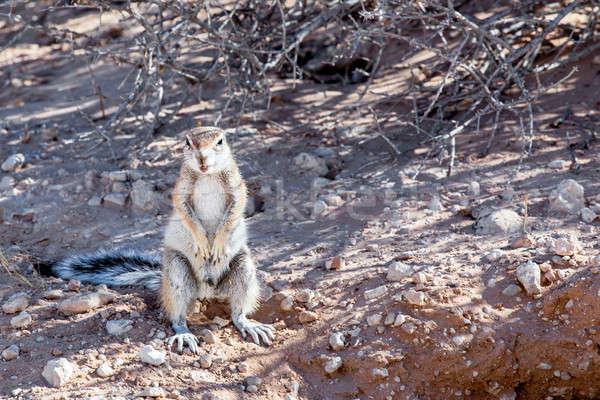 Güney afrika zemin sincap kuyruk Güney Afrika kum Stok fotoğraf © artush