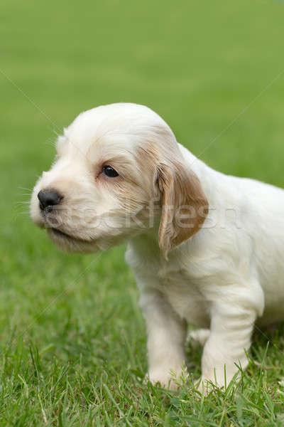 Naar Engels puppy 24 oude outdoor Stockfoto © artush