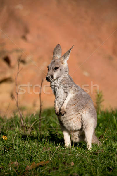 red kangaroo baby Stock photo © artush