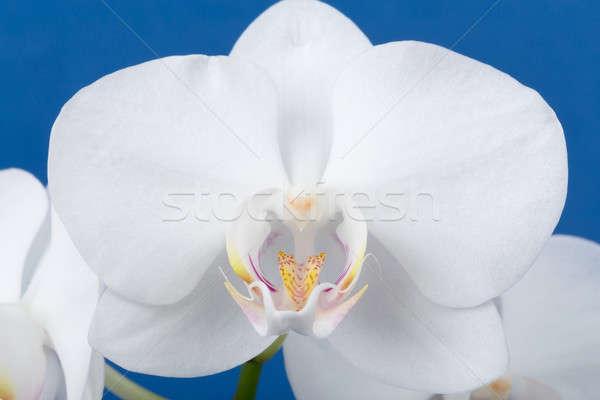 Romantikus ág fehér orchidea kék stúdió Stock fotó © artush