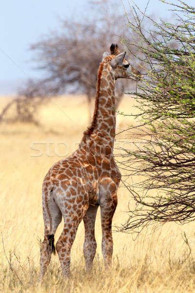 Young cute giraffe in Etosha national Park Stock photo © artush