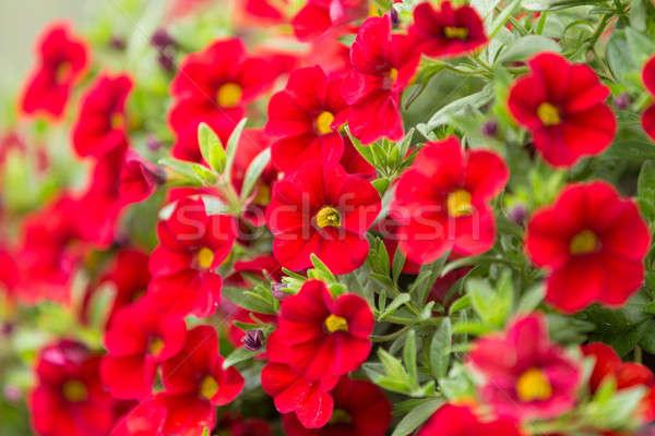 red million bells flower Stock photo © artush