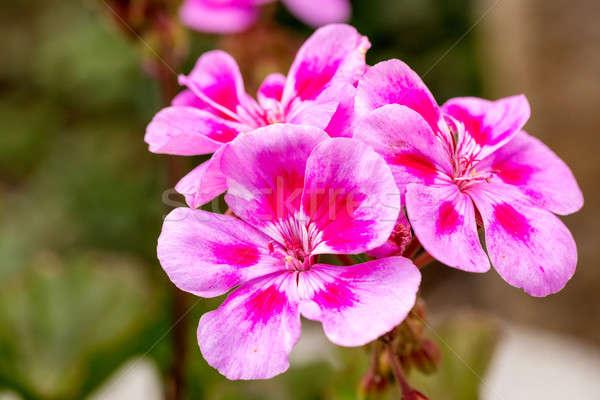 Pink bicolor geraniums Stock photo © artush