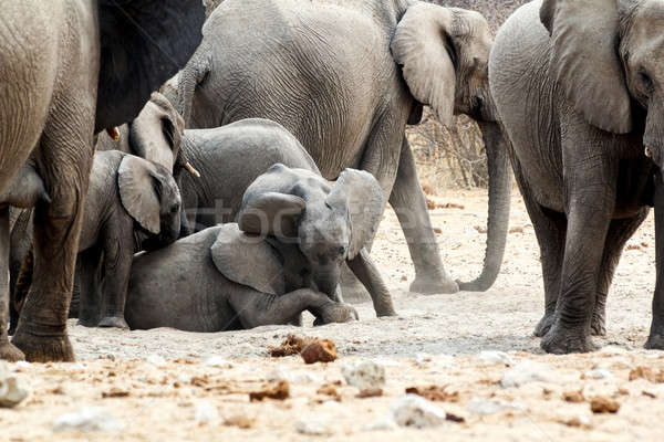 Stock photo: A herd of African elephants, small elephant playing