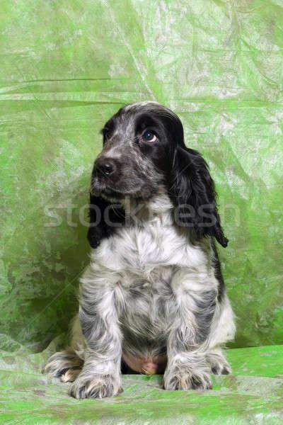 黒白 英語 子犬 青 緑 美 ストックフォト © artush
