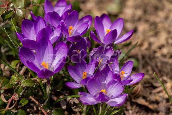 Primero flores de primavera jardín azafrán macro uno Foto stock © artush