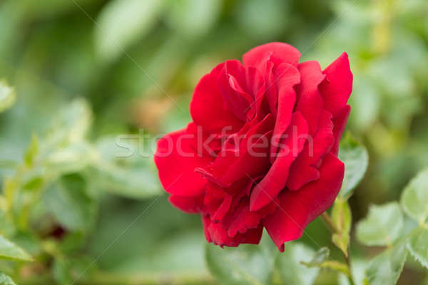 beautiful red roses in spring garden Stock photo © artush