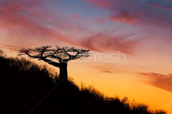Baobab tree silhouette after sunset Madagascar Stock photo © artush