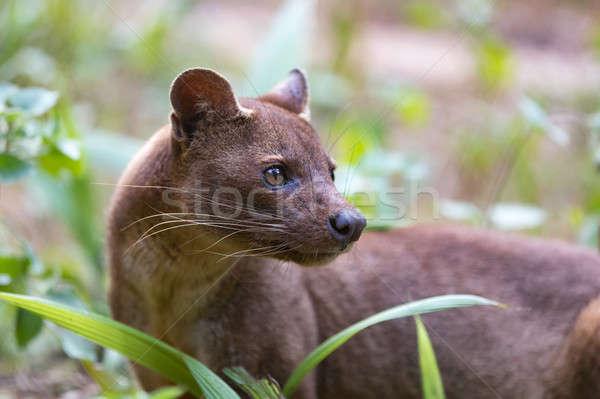 Fleischfressende säugetier Madagaskar Ernährung Reserve Tierwelt Stock foto © artush