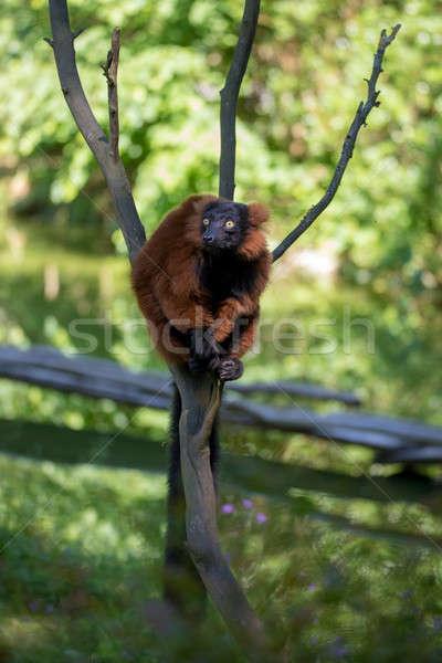 Vermelho Madagáscar árvore topo cara olhos Foto stock © artush