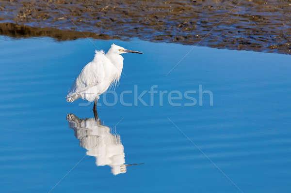Biały czapla Namibia Afryki przyrody ptaków Zdjęcia stock © artush