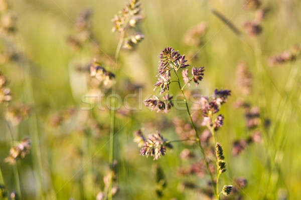 Tall plants grass bending by the wind Stock photo © artush