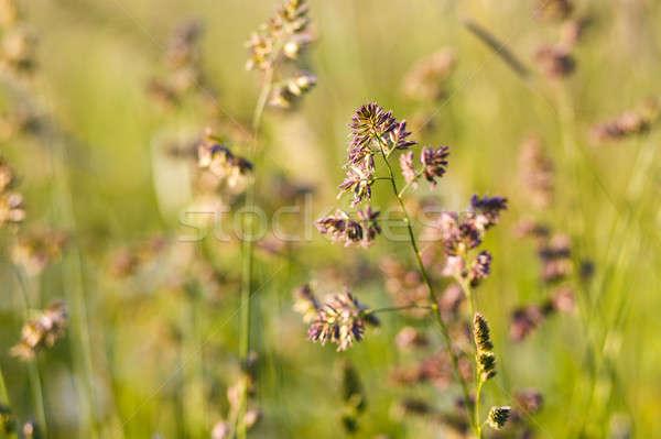 Magas növények fű görbület szél sekély Stock fotó © artush