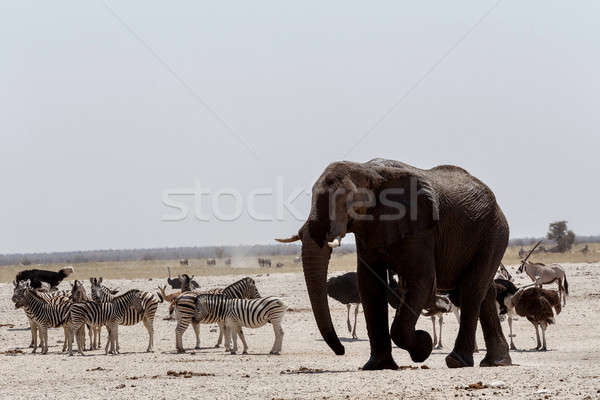 Animal trafic on muddy waterhole in Etosha Stock photo © artush