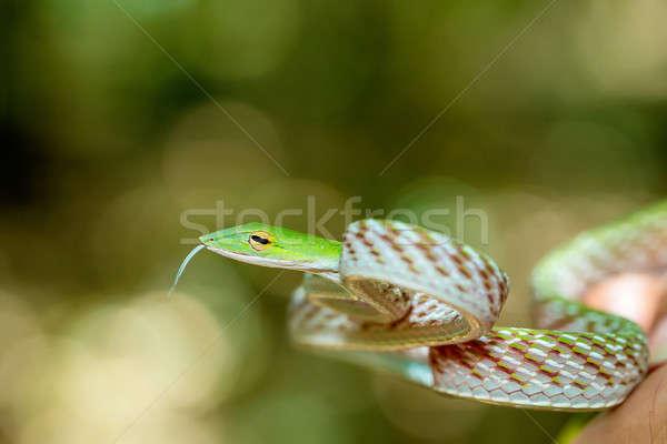 Asian Vine Snake (Ahaetulla prasina) Stock photo © artush
