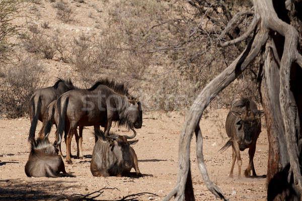 wild (Connochaetes taurinus) Blue Wildebeest Stock photo © artush