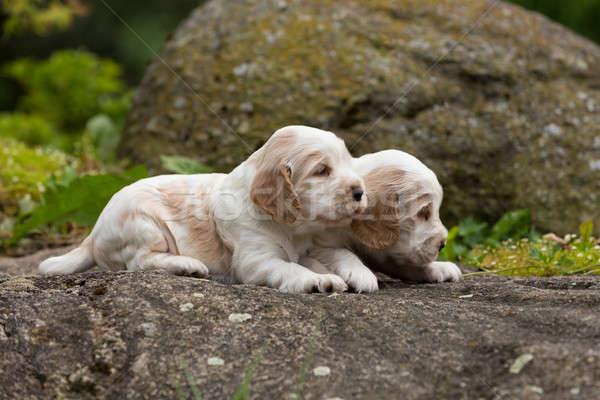 Kettő kicsi fajtiszta angol kutyakölyök 24 Stock fotó © artush