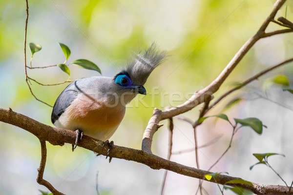 Atractive bird Crested coua (Coua cristata) Stock photo © artush