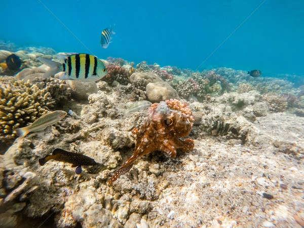 осьминога коралловый риф большой синий изменений цвета Сток-фото © artush